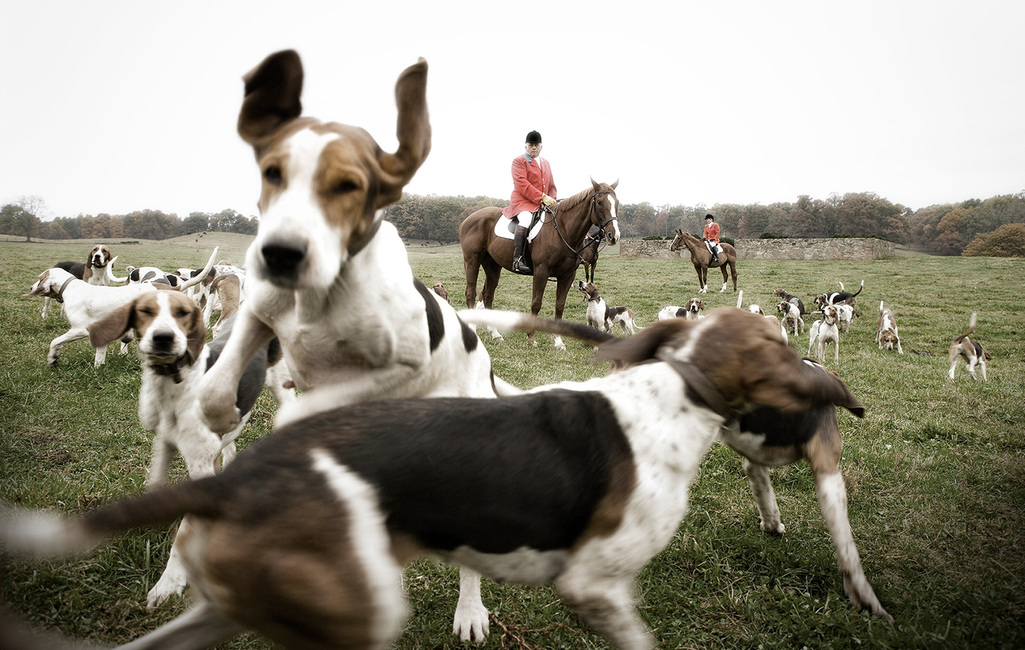 Lifestyle: English Foxhounds